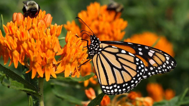 Meilleures variétés d'asclépiades pour les papillons monarques