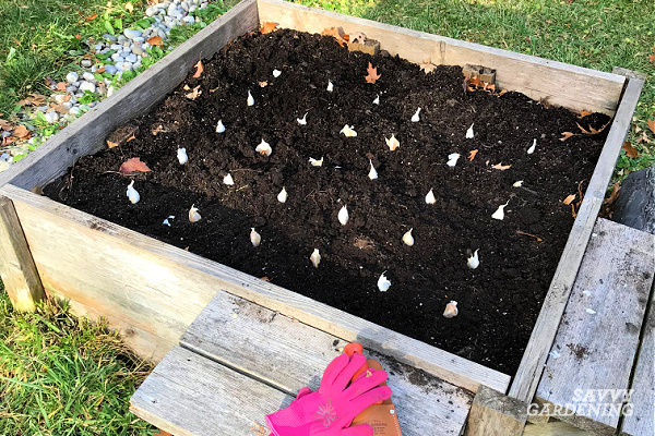 Les gousses d'ail doivent être plantées à six pouces de distance et de deux à trois pouces de profondeur.  La plantation dans une formation de grille maximise l'utilisation de l'espace de croissance.
