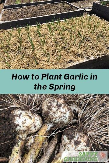 Planter de l'ail au printemps