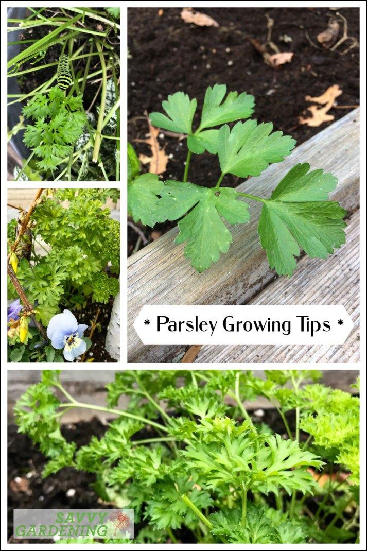 Conseils de culture du persil: Récoltez cette herbe savoureuse et cet aliment de base toute l'année
