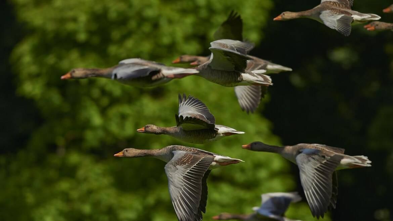 Comment les oiseaux naviguent dans le ciel nocturne