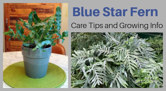 Conseils d'entretien et informations de croissance pour cette belle plante d'intérieur
