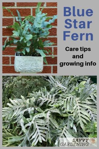 Comment faire pousser des fougères bleues Phlebodium aureum