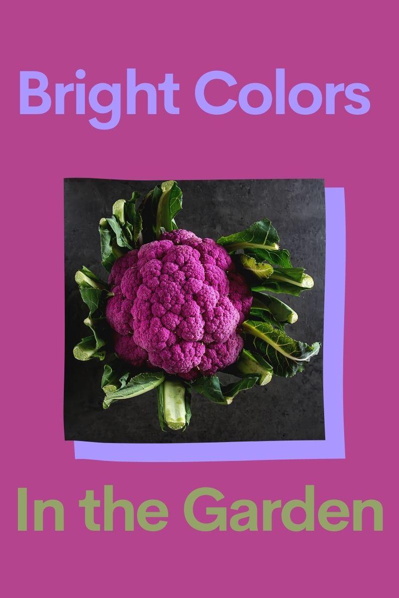 Expérimenter avec des variétés de chou-fleur violet