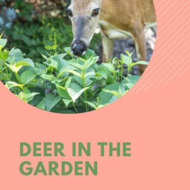 Deer-in-the-garden-1.jpg