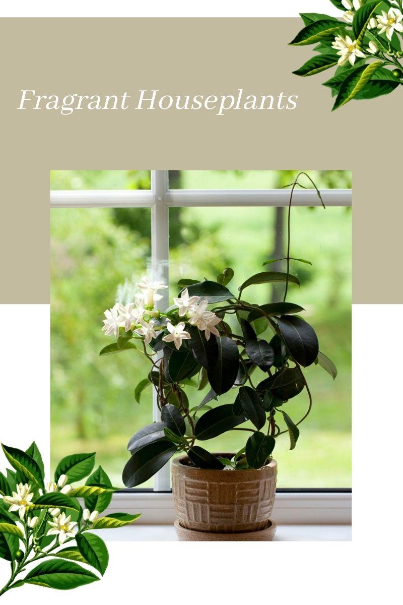 Plantes parfumées pour l'intérieur – Meilleures plantes d'intérieur qui sentent bon