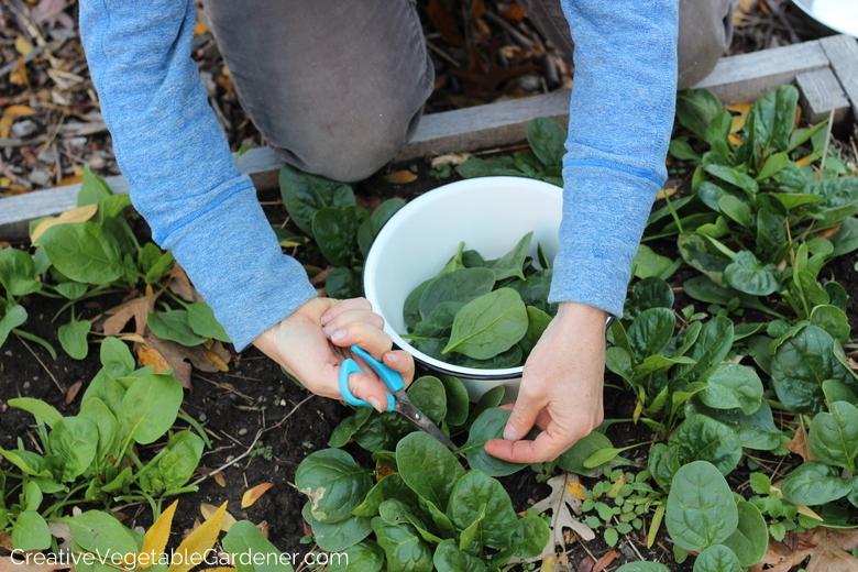 Femme récolte des épinards dans le jardin