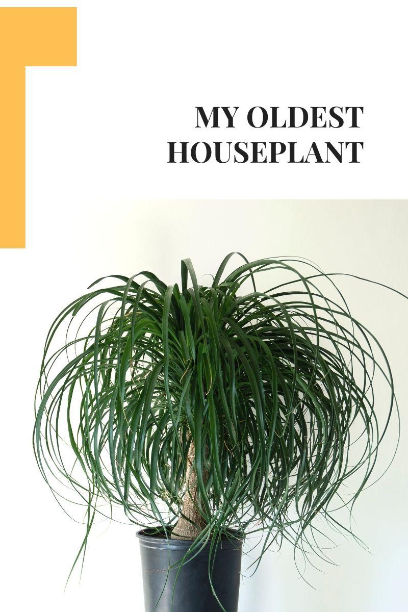 Une plante d'intérieur de palmier à queue de cheval à travers les âges