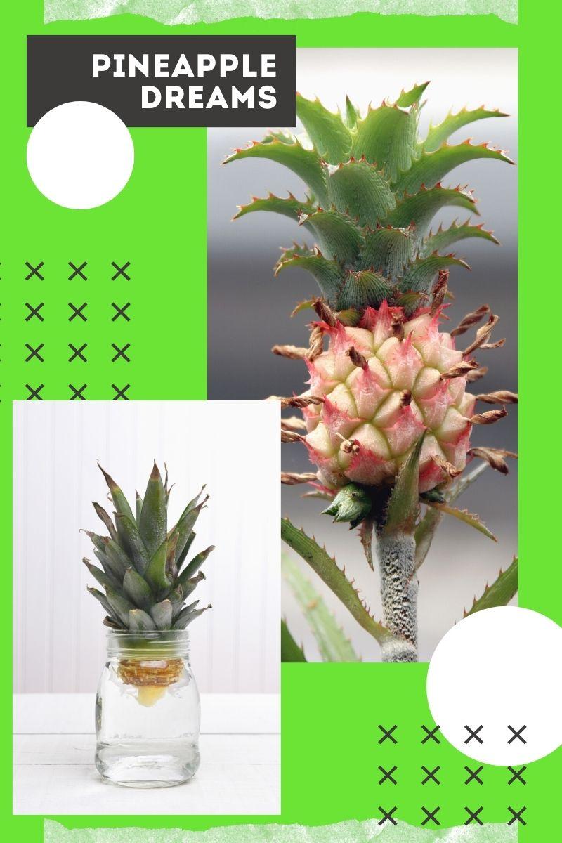 Pineapple Dreams – Cultiver un ananas loin des tropiques