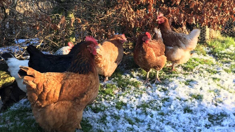 Garder les poulets heureux dans la neige