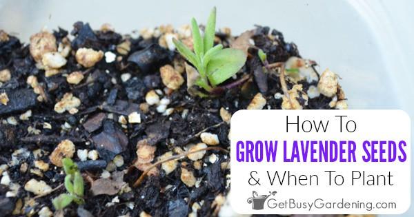 Comment et quand planter des graines de lavande