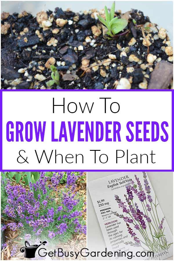 Comment faire pousser des graines de lavande et quand planter