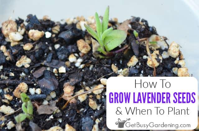 Comment faire pousser de la lavande à partir de graines et quand planter