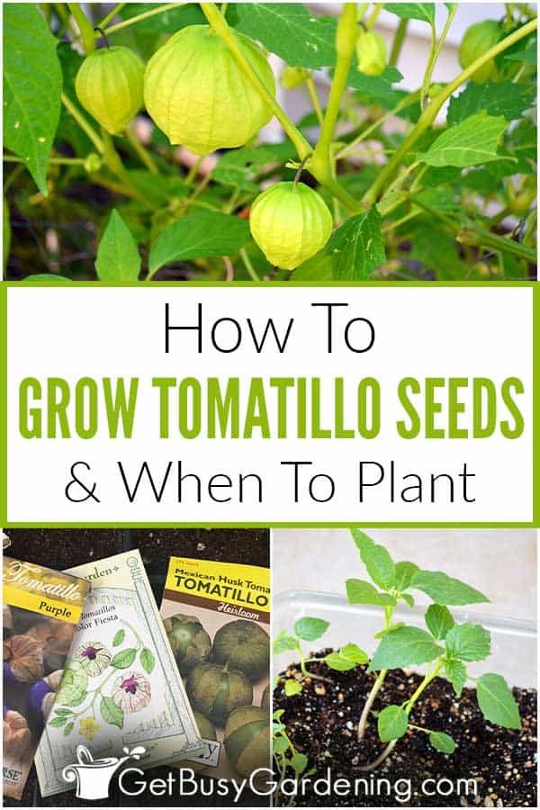 Comment faire pousser des graines de tomate et quand planter