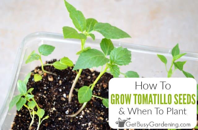 Comment faire pousser des tomates à partir de graines et quand planter