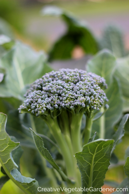 brocoli dans le jardin