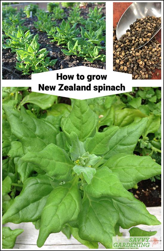 Comment faire pousser des épinards de Nouvelle-Zélande
