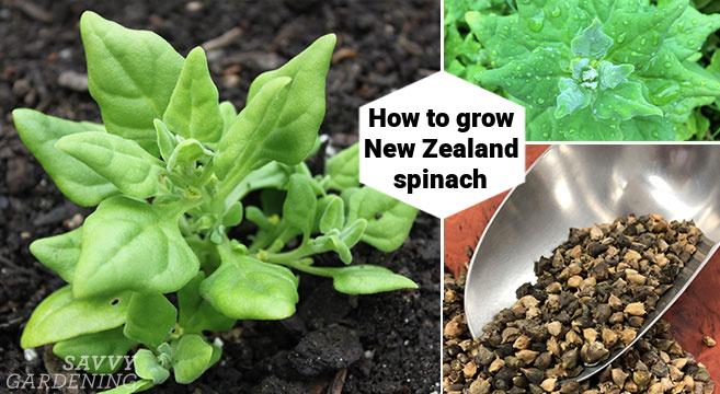 Cultiver ce vert feuillu qui n'est pas vraiment des épinards