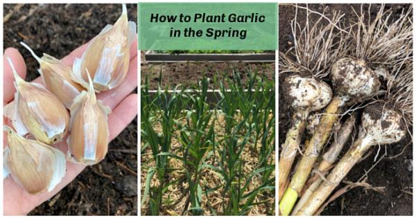 Faites pousser de gros bulbes à partir d'ail planté au printemps