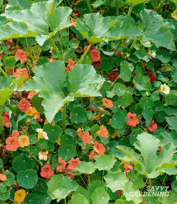 Les meilleures plantes compagnes de courgettes pour le potager