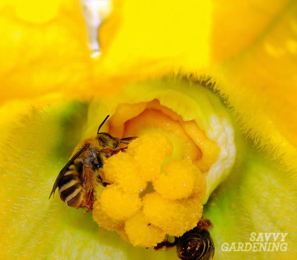 Les abeilles de courge sont des pollinisateurs indigènes des plants de courges.