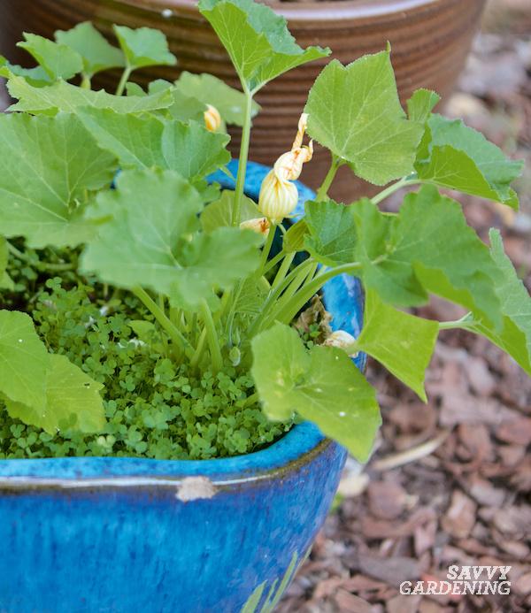 Petit trèfle pousse avec des plants de courgettes dans un pot