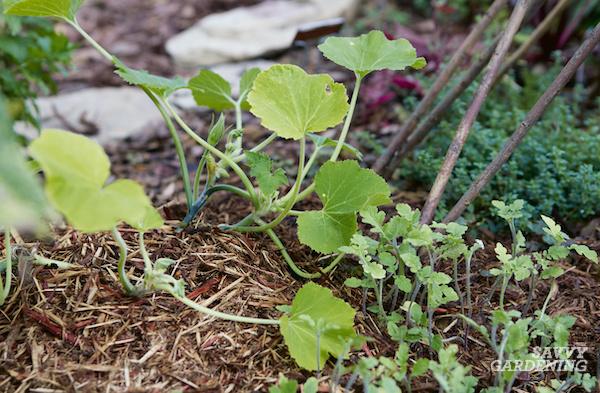 8 plantes compagnes de courgettes pour le jardin