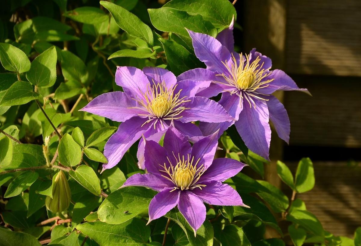Clématite: Comment planter et entretenir les plantes de clématite
