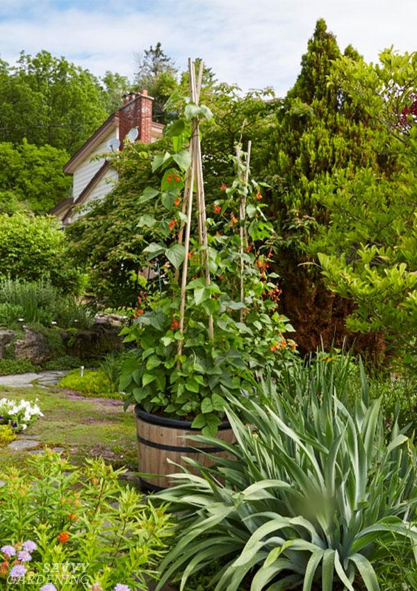 plants de haricots dans un jardin avant