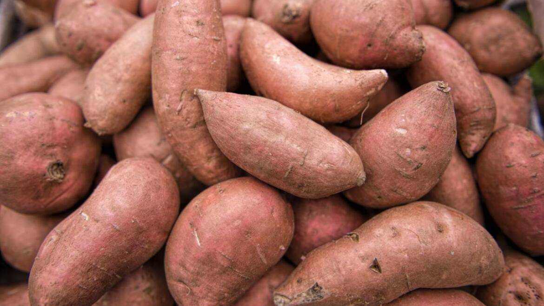 Patates douces: plantation, culture et récolte de patates douces