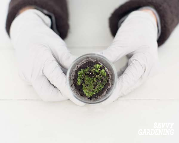 Faire plus de plantes de fougère en plantant des spores