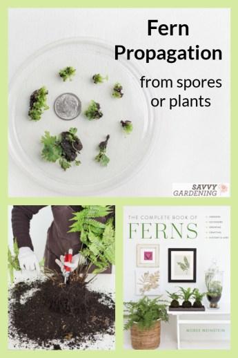 La propagation des fougères à partir de spores ou de divisions est amusante et facile, mais vous devez savoir comment accomplir la tâche.