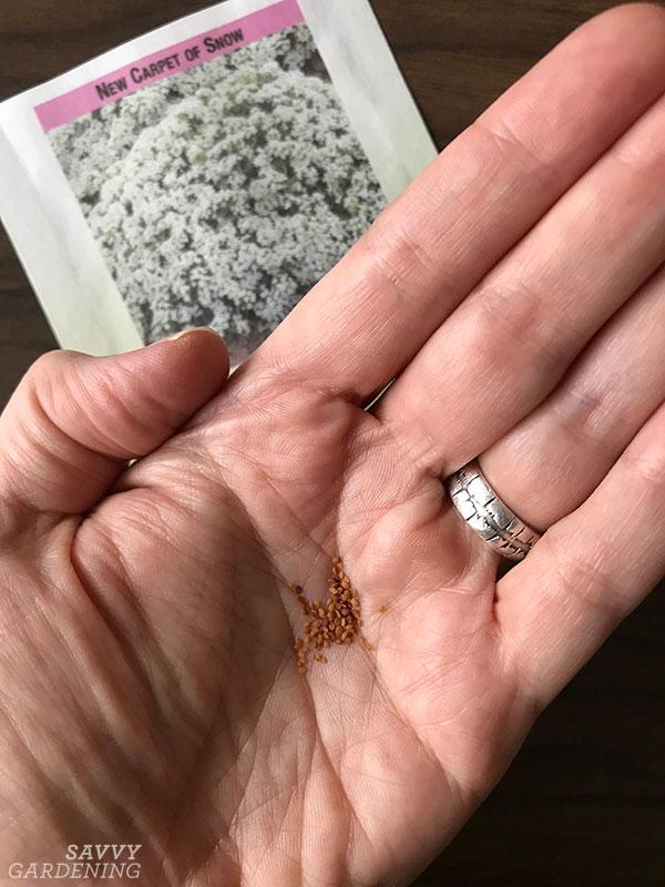 faire pousser de l'alyssum sucré à partir de graines est un moyen rentable d'obtenir plus de plantes