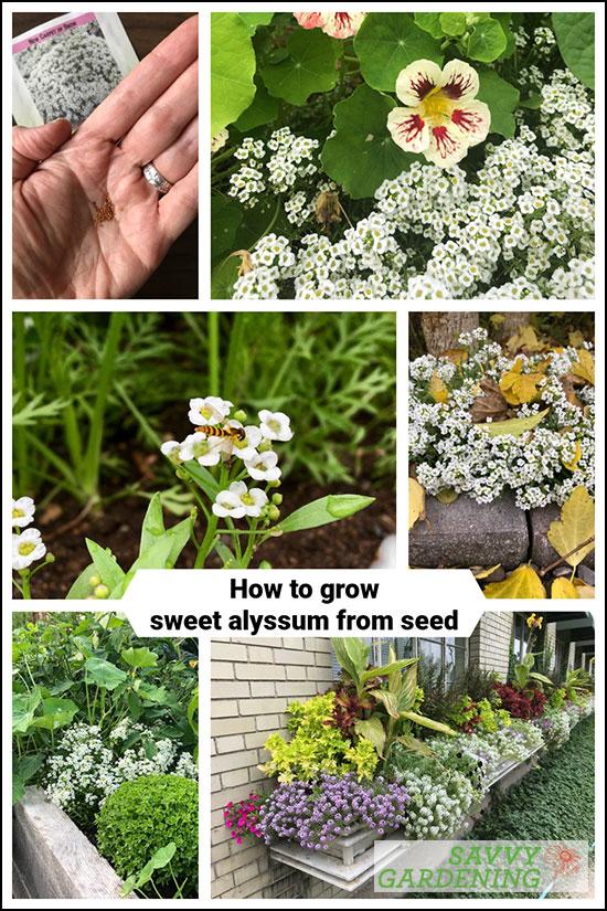 comment faire pousser du doux alyssum à partir de graines