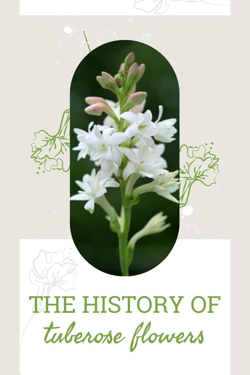Histoire de la fleur de la tubéreuse: les utilisations de la tubéreuse au fil du temps