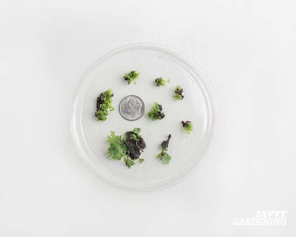 Cultiver de nouvelles fougères à partir de spores