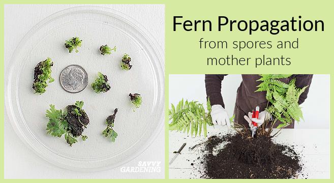 Techniques de propagation des fougères à l'aide de spores ou de plantes mères