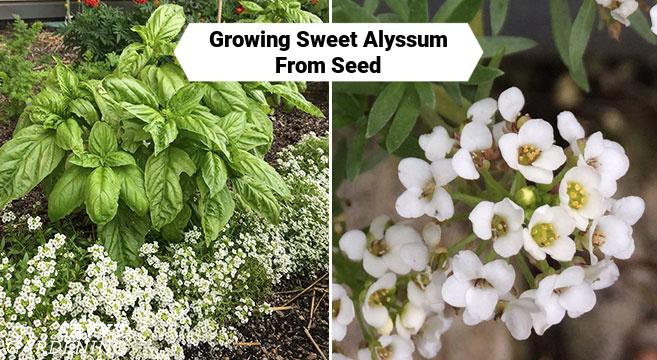 Cultiver Sweet Alyssum à partir de graines à l'intérieur ou dans votre jardin