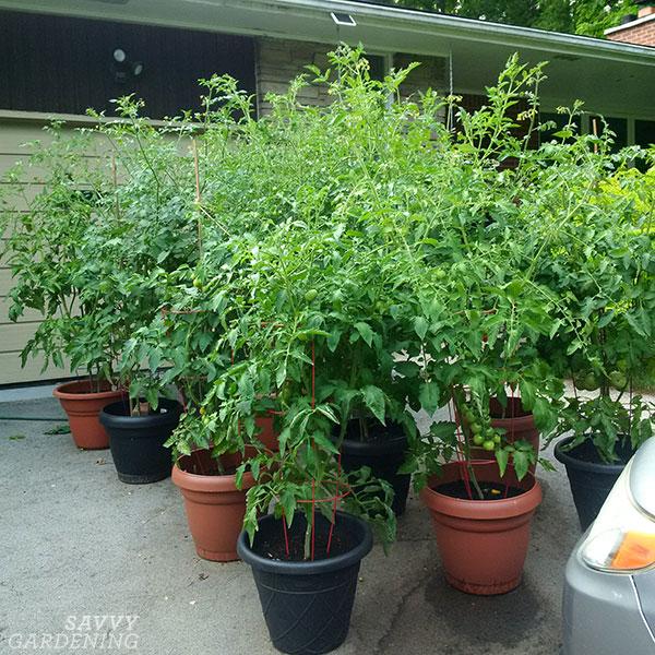 Conteneurs de plants de tomates sur une allée