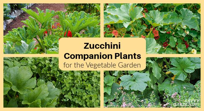Plantes d'accompagnement de courgettes pour le potager