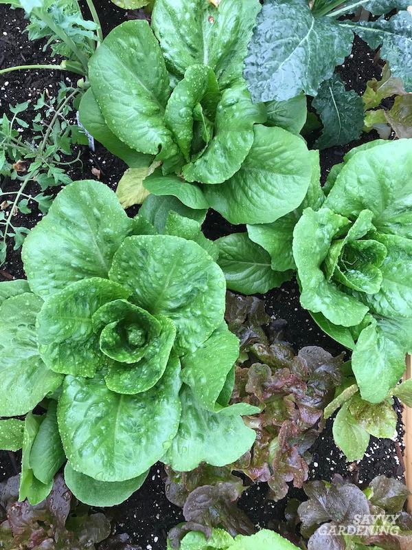Planter, cultiver et récolter de la laitue romaine
