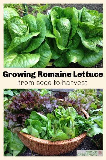 La laitue romaine est étonnamment facile à cultiver.  Utilisez ces conseils pour planter, semer et cultiver pour une récolte copieuse de cette salade verte.