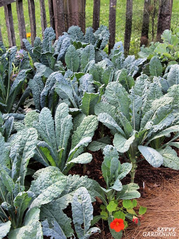 Lacinato kale dans un jardin