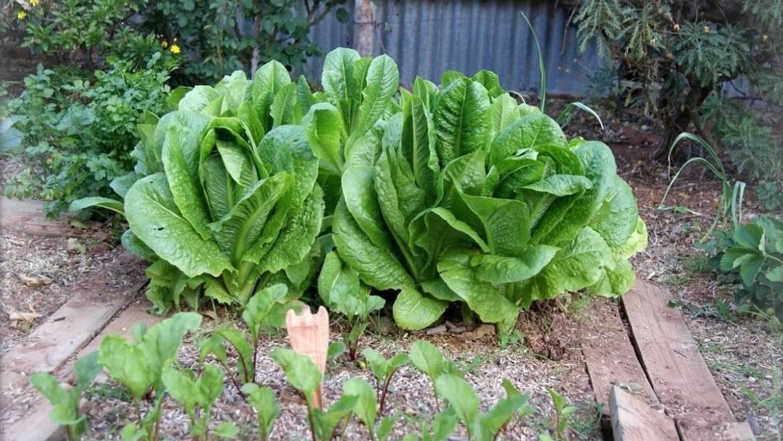 Des légumes à pousser à l'ombre: conseils de culture et plans de jardinage