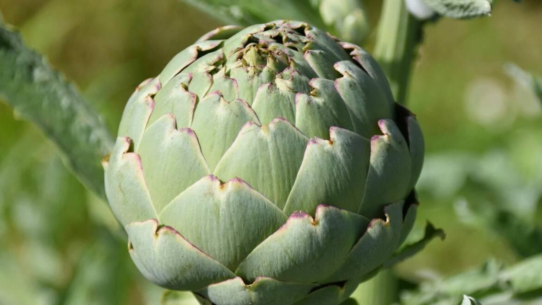 Cultiver des artichauts: comment planter, cultiver et récolter des artichauts