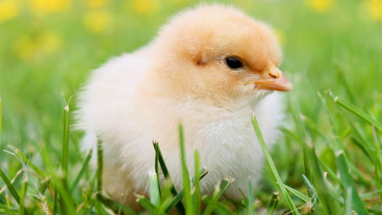 Élever des poulets 101: Comment élever des bébés poulets à la maison