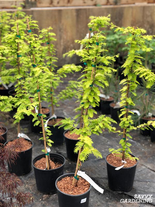arbres en pots