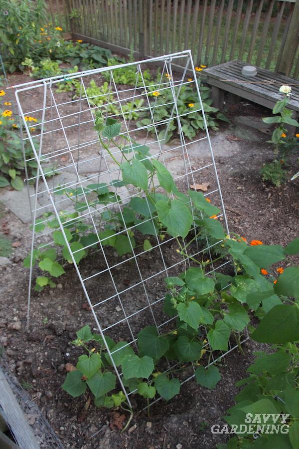 Greffes plantées à la base d'un treillis de jardin