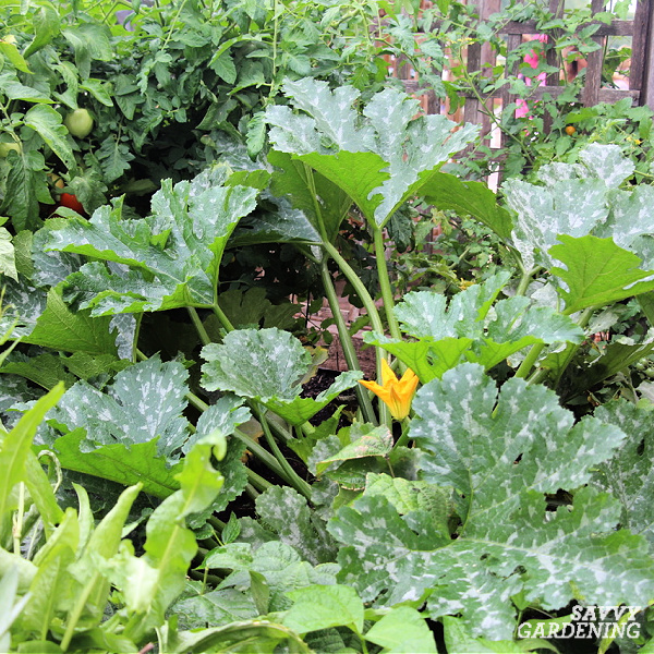 plante de courgette dans le jardin