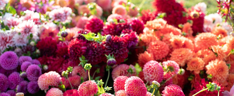 Dahlia Tuber Giveaway – Fleurs de fleur